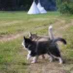 malamuti na táboře