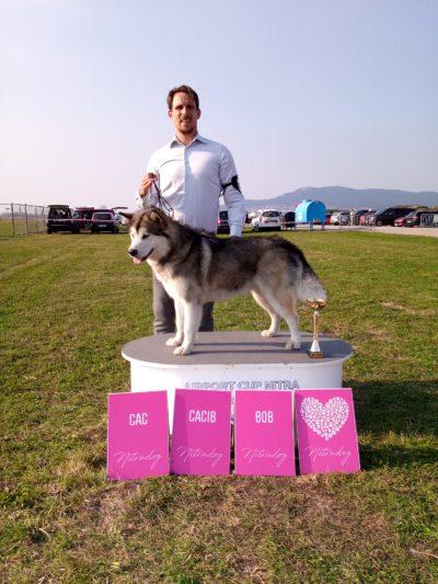 Aljassky malamut - výstava psů Nitra BOB